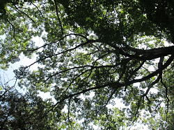 Woods canopy in summer