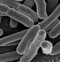 E. coli zombie bacteria
