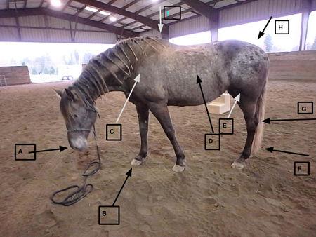 Horse Terminology: Gaits and Anatomy - Dan Koboldt
