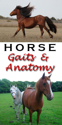horse gaits & anatomy