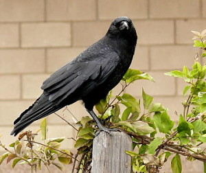 omens crow