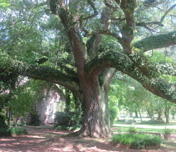 wood oak tree