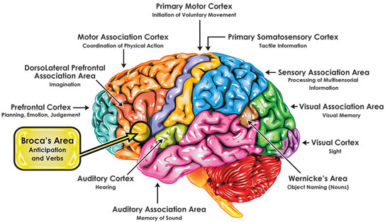 Brain areas involved in thinking