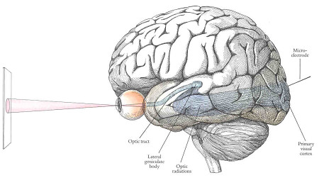 Brain visual system