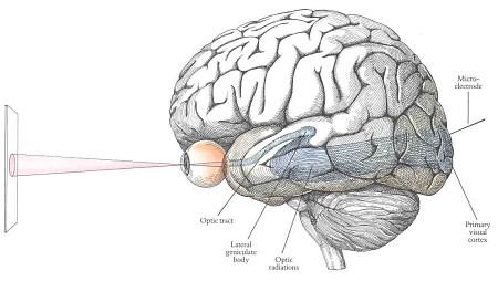 Brain visual system