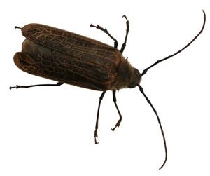 Large Insects in fiction: Huhu beetle