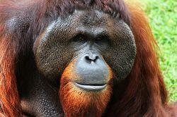 Orangutan primate