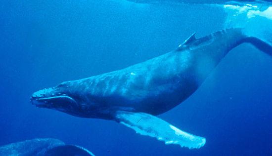 humpback whales singing