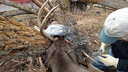 hunting antlers