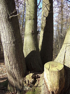 sweet chestnut trees