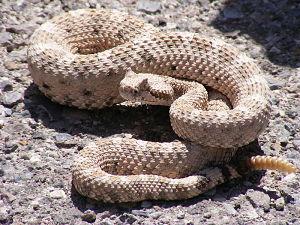 Horned rattlesnake