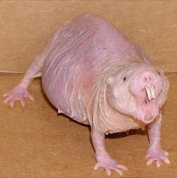 aging naked mole rat